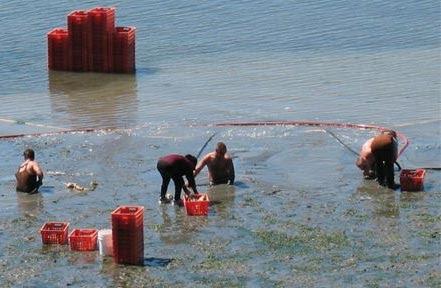 Taylor Shellfish Foss Farm - geoduck harvesters 'in the hole.'