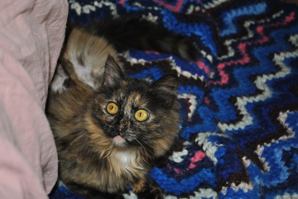 cute tortie kitten with golden eyes