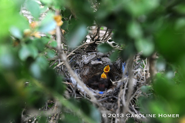 newly hatched mockingbirds
