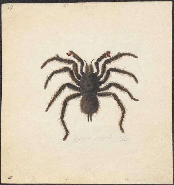 sketch of a Goliath Bird Eating Tarantula