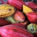 Brightly coloured cocoa pods