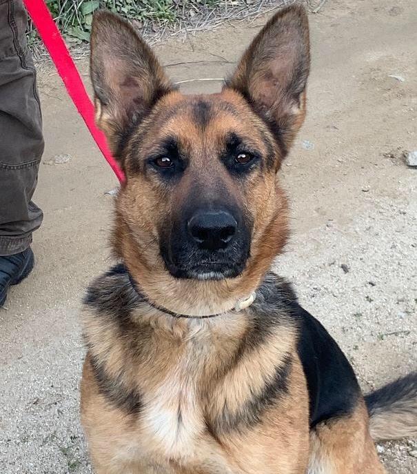 ¿Los pastores alemanes ya no están de moda? ¿Nadie querrá dar una segunda oportunidad a esta perra que fue reventada a criar?