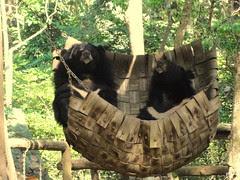 Aziatische Beren
