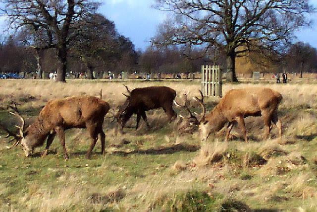 Deer In Bushy Park Deer Park Rebecca And Wes Jones Cc By