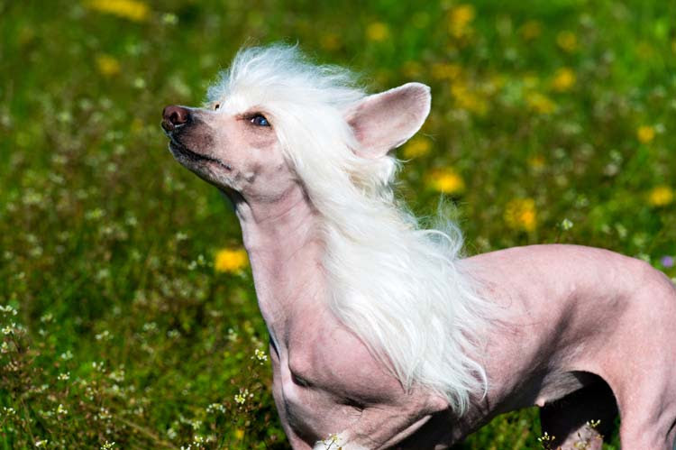 Dog Breed of the Wee