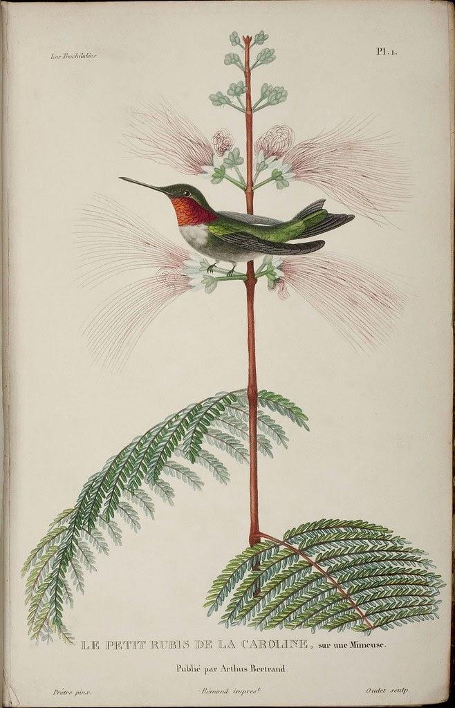 19th century hummingbird illustration
