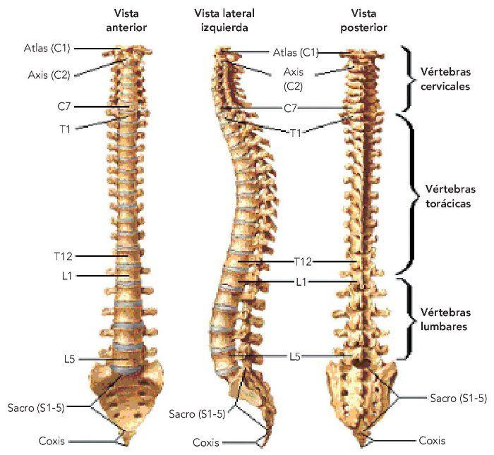Columna Vertebral Anatomía Escuelapedia Recursos Educativos
