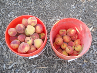 Harvested Nectarines