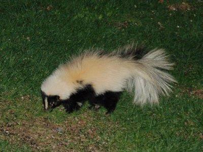 White skunk eating sunflower seeds