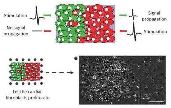 Diodo biológico vivo é feito com células cardíacas