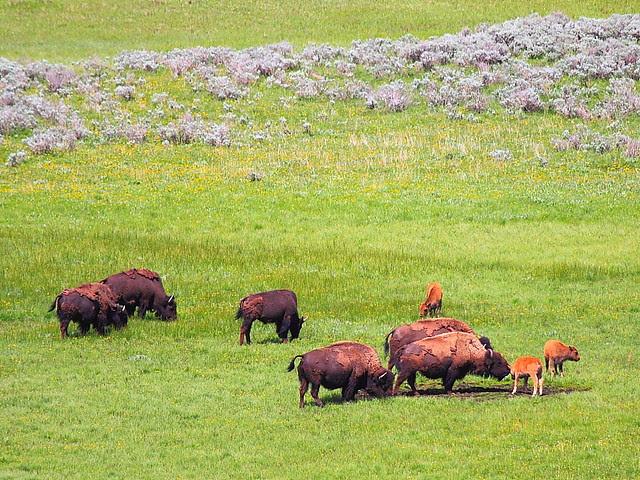 IMG_8806 Bison in Hayden Valley, Yellowstone National Park