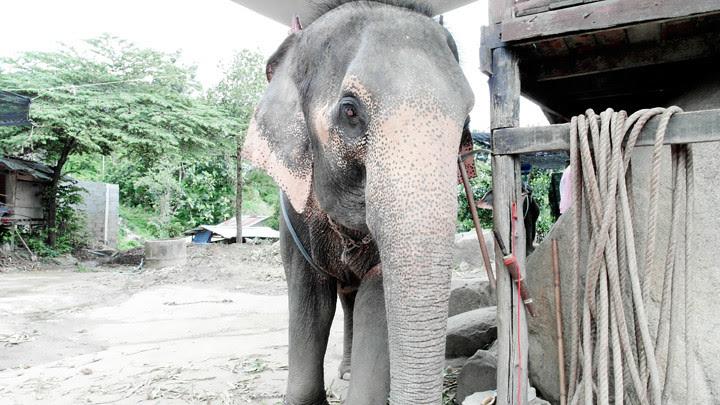 phuket elephant riding typicalben 2