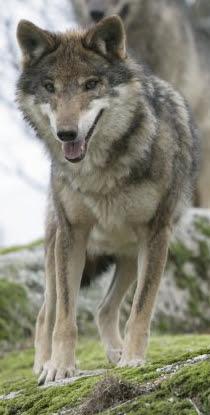 File:Canis Lupus SignatusZOOM.jpg