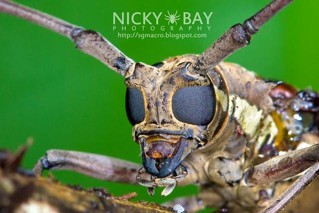 Citrus Longhorn Beetle (Anoplophora chinensis?) - DSC_9143