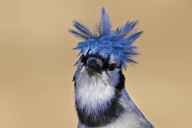Hinterland Whos Who Blue Jay