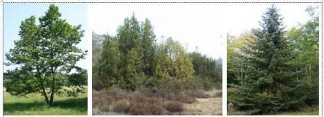 Alder Juniper dan Spruce, pohon-pohon konifer yang tumbuh di bioma taiga