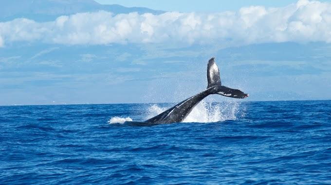 Wikie, la orca que habla como las personas