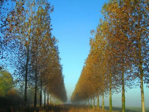 peupliers filant dans la brume (octobre 2009)