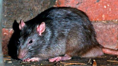 Soñar con ratas y su significado   Esoterismos.com