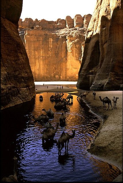 CHAD.....Camel Canyon, Chad.....Knee-deep wading is bliss for camels in Chad's Archeï, a canyon whose trapped waters hold a zoological surprise. Fertilized by beasts' droppings, algae are eaten by fish that are preyed upon by an isolated group of crocodiles.