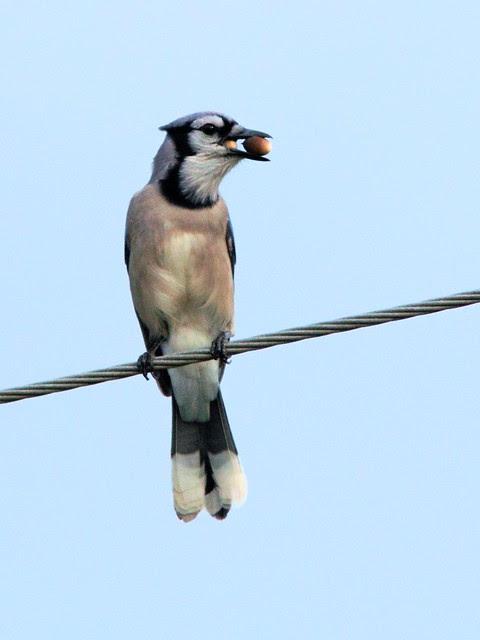 Blue Jay 2-20121205