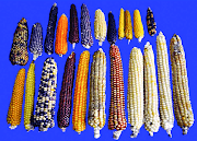 Maize and recently released varieties in india
