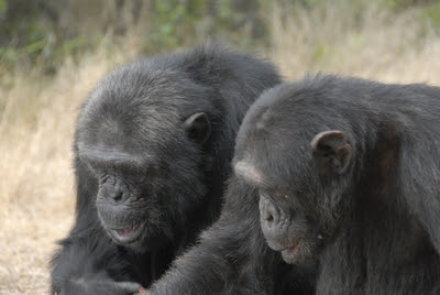 Chimpanzees at Sweetwaters Sanctuary