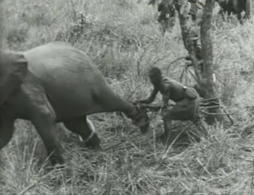 Elephant%20Capture-8 by bucklesw1