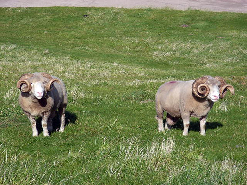 Blasket island lamb