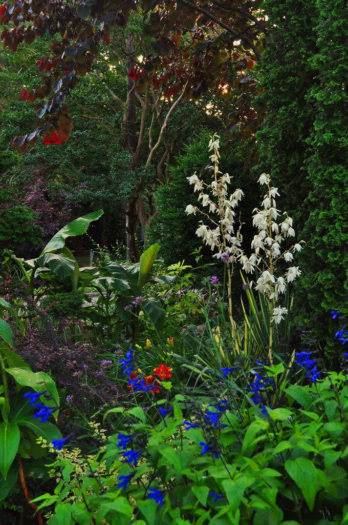 Front Garden with Yucca filamentosa 'Golden Sword, (2)