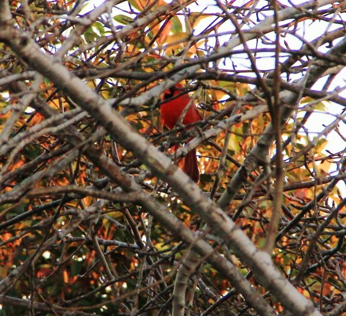 cardinal pear tree