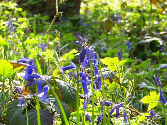 Bluebells on the South Meadow