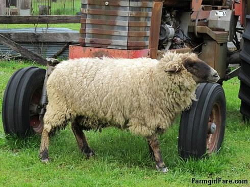 Sheep heading out to eat breakfast (9) - A really big itch FarmgirlFare.com
