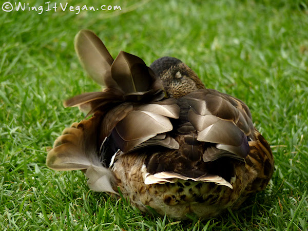 Sleeping windy duck