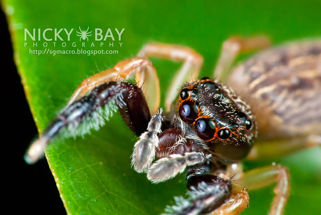 Jumping Spider (Salticidae) - DSC_5566
