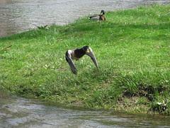 Duck flyby