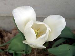 Tulip_White_50309