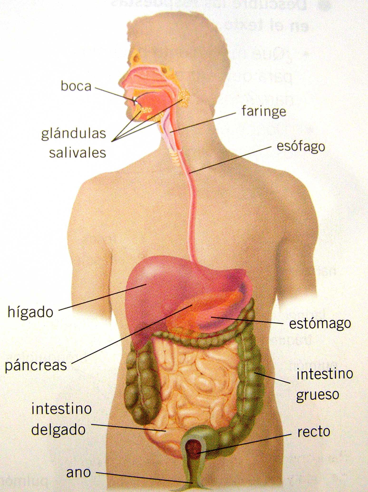 Aparato Digestivo Dibujo Hepatitis2000org