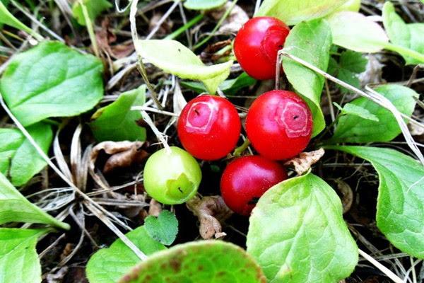 Сбор ягод, когда собирать ягоды, полезные свойства ягод, правила сбора ягод, ягодный календарь, календарь сбора ягод, полезные свойства красники, когда собирать краснику