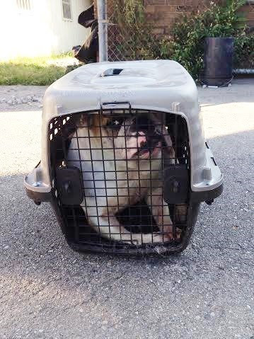 Inside was no cat but a 60-pound English bulldog. Someone had crammed the poor thing into the tiny cage and left her crying out in pain.