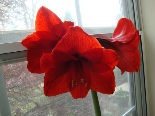 my amaryllis in bloom!!  4/20/13