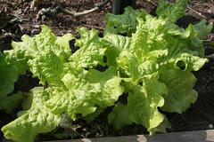 lettuce black seeded simpson 067