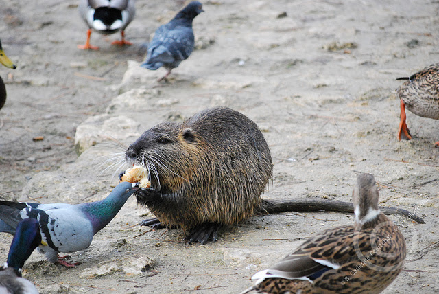 Friendship animals.  Nutria treats dove