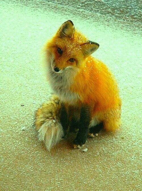 Cute fox - image #2300285 by saaabrina on Favim.com