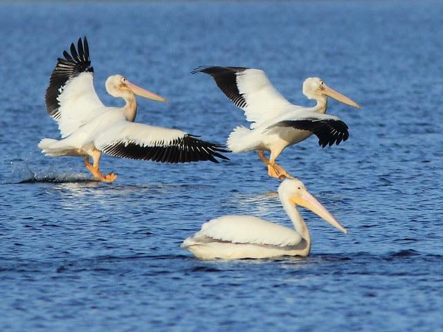 Pelicans landing 2-20121201
