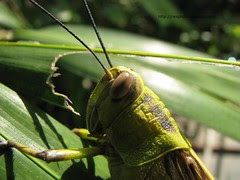 Tropical giant locust