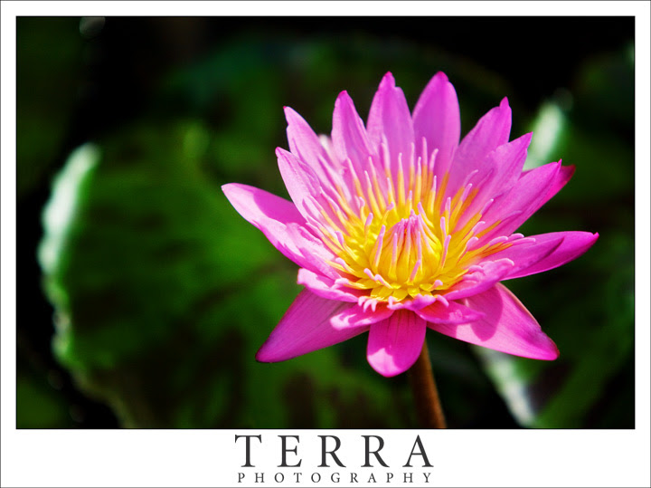 Nature Photography: Water Lily