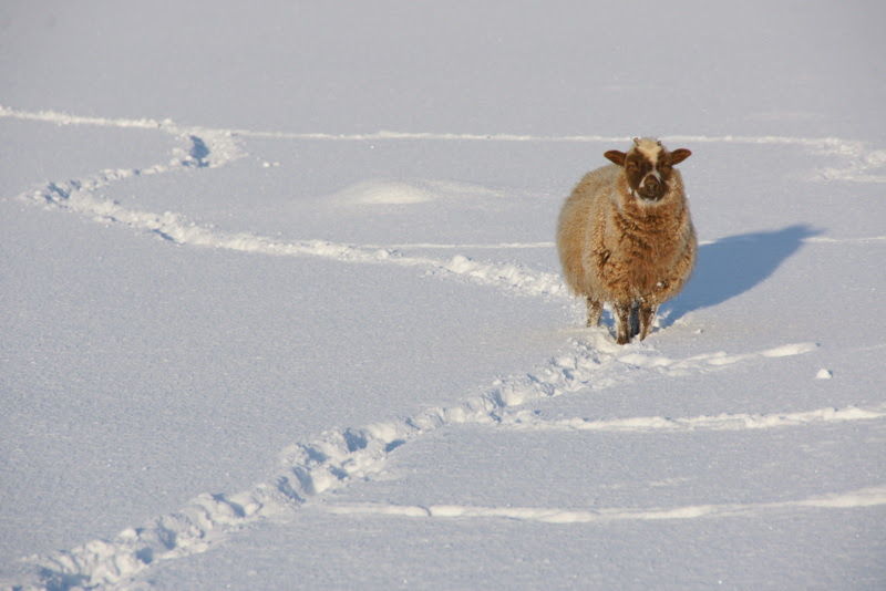File:Sheep in the snow, Baltasound - geograph.org.uk - 1725749.jpg
