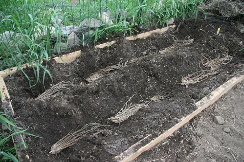 planting asparagus