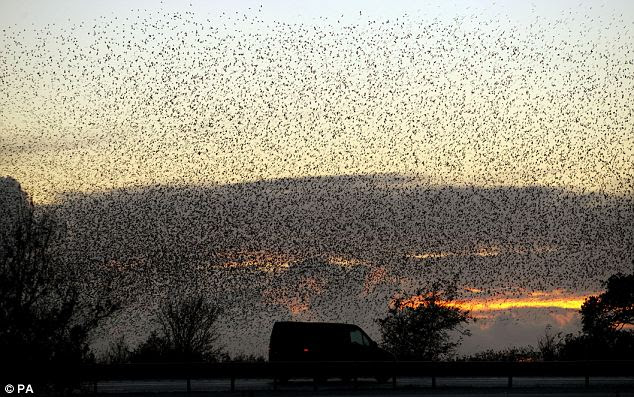 Safety in numbers: The flock fills the early evening sky like a heavy cloud